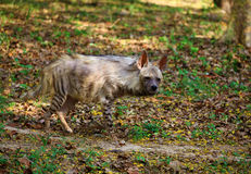 Hyena. Wild hyena looking great in wild stock photo