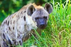 Hyena Fotos de Stock Royalty Free