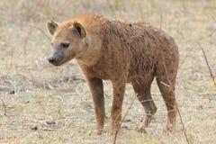 Hyena Fotos de archivo
