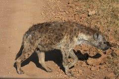 Hyena Royalty Free Stock Image