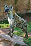 Hyena,. Bioparc In Valencia Spain stock photo