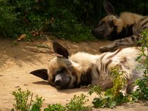 Hyena [1] Royalty-vrije Stock Foto's