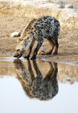Hyena. Etosha National Park Namibia, Africa spotted hyena drinking at a waterhole royalty free stock photo