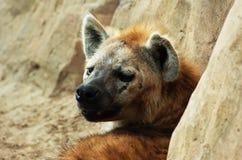 Hyena. Beautiful tired hyena lies in sunshine on the rocks royalty free stock image