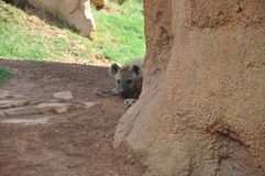 Hyena Fotos de Stock Royalty Free
