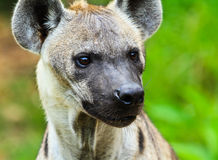 Hyena. Closeup portrait of a hyena Royalty Free Stock Images