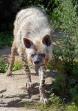 Hyena. Pricket up it's ears Stock Image