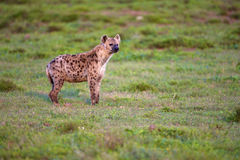 Hyena. A Hyena looking into the distance, Addo Elephant National Park Stock Photography