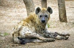 Hyena. S or Hyaenas are the animals of the family Hyaenidae Stock Photography