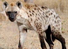 Hyena Imagem de Stock Royalty Free