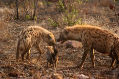 Hyena. Family Royalty Free Stock Images