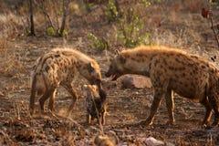 Hyena imagens de stock royalty free
