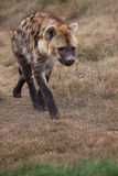Hyena. The hyena is walking around in the closed of area royalty free stock photo