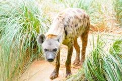 Hyena Fotografía de archivo libre de regalías