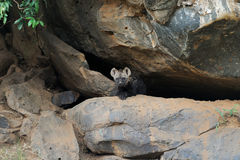 Hyena. A young hyena in a cave in Africa Stock Images
