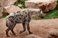 Hyena Стоковые Фотографии RF