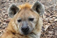 Free Hyena Royalty Free Stock Photos - 30126118