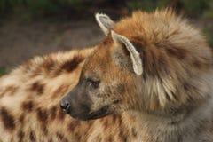 Hyena Royaltyfri Bild