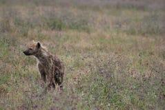 Hyena royalty-vrije stock fotografie