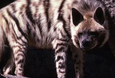 Hyena. Stripped Hyena closely watching for prey Royalty Free Stock Photography