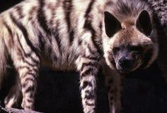 hyena Royaltyfri Fotografi