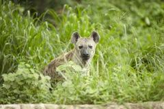 Hyena Στοκ Φωτογραφίες
