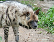 Hyena Royalty Free Stock Photography