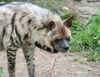 Hyena Fotografia Stock Libera da Diritti