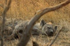 hyena Arkivbild