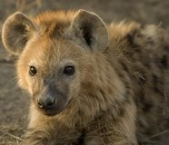 Hyena. We met that small group of hyenas at their den. One juvenile, two cups and a few adult hyenas surrend the den Royalty Free Stock Image