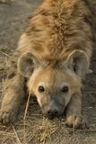 Hyena. We met that small group of hyenas at their den. One juvenile, two cups and a few adult hyenas surrend the den Royalty Free Stock Images