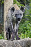 Hyena Royalty-vrije Stock Afbeelding