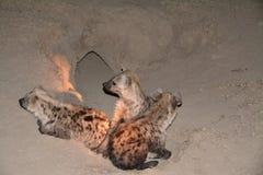 hyena Στοκ Εικόνες