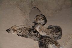 hyena Στοκ φωτογραφίες με δικαίωμα ελεύθερης χρήσης