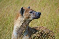 hyena Immagini Stock