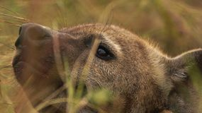hyena Fotografie Stock