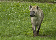 hyena Arkivfoto