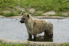 hyena Royaltyfri Foto