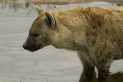 Hyena Royalty-vrije Stock Afbeeldingen