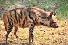 hyena Fotografia Stock