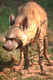 hyena Foto de Stock Royalty Free
