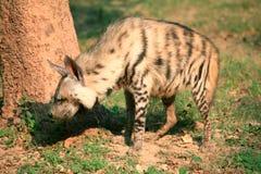hyena Fotografia de Stock Royalty Free
