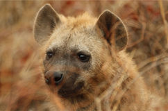 hyena στοκ φωτογραφία