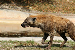hyena Στοκ εικόνες με δικαίωμα ελεύθερης χρήσης