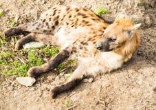 hyena Fotografia de Stock