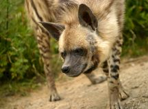 Hyena. The image of a hyena on a background of a grass Stock Photos