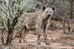 hyena Fotografering för Bildbyråer