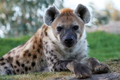 Hyena. A great hyena in the zoo stock images