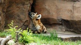 Hyena Royalty-vrije Stock Foto