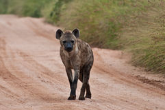 Hyena. Walking along a dirt road during daytime safari royalty free stock images